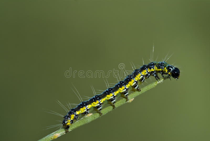 Download Caterpillar stock image. Image of stripes, blurry, hairy - 11779819