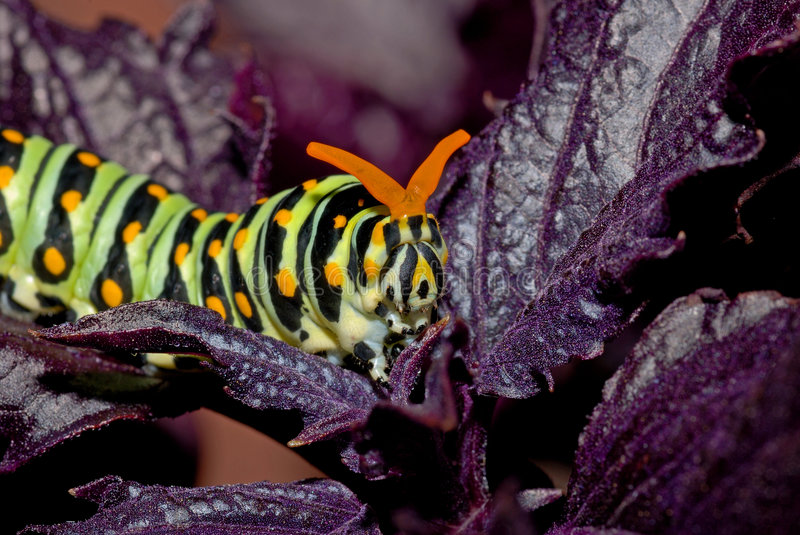 Download Caterpillar stock photo. Image of creature, cycle, crawling - 1385920