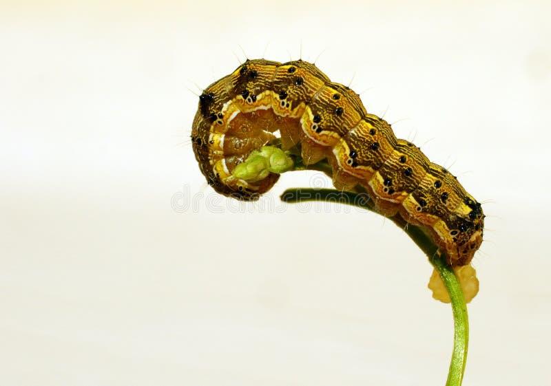 Caterpillar. The caterpillar creeps on a plant branch stock image