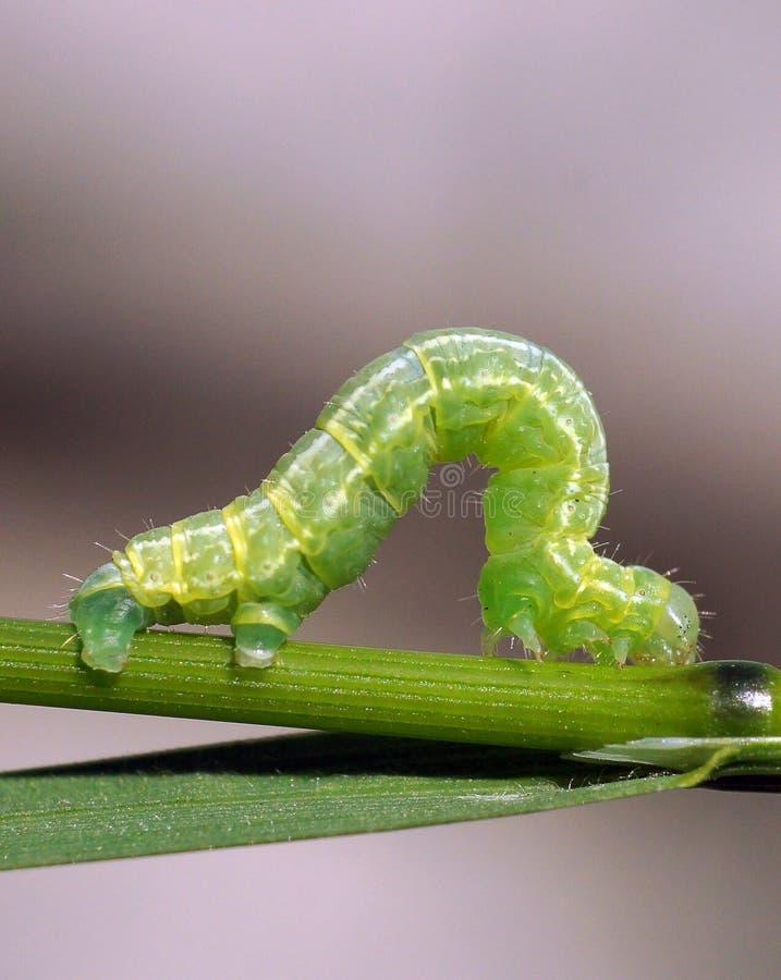 Download Caterpillar stock photo. Image of fauna, expectation - 19790978