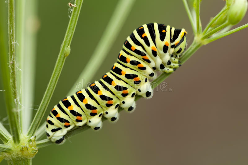 Caterpillar. Yellow spotted caterpillar sit on plant stock photo