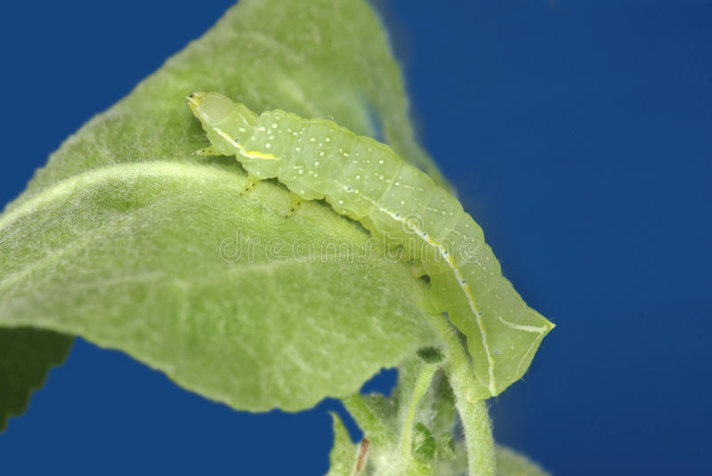 Download Caterpillar stock photo. Image of leaf, destructive, green - 24639098