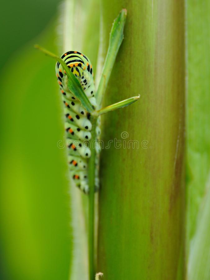 Caterpillar. This is the caterpillar of a old world swallowtail. The caterpillar is on a blade of grass royalty free stock image