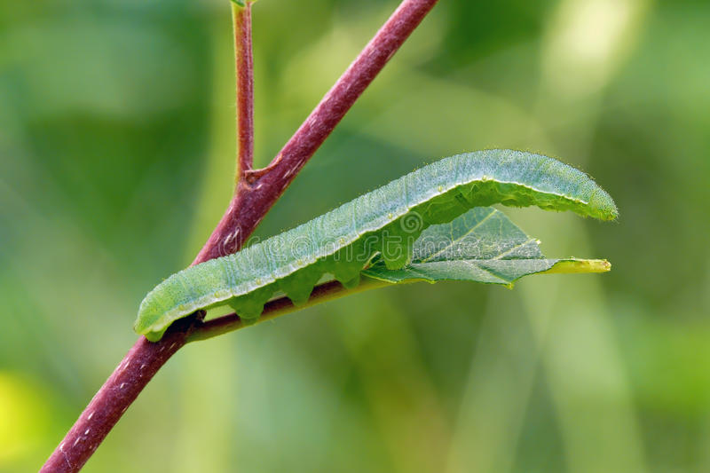 Caterpillar. Of the common brimstone (Gonepteryx rhamni royalty free stock image