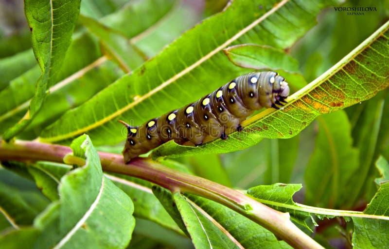 Caterpillar zdjęcia royalty free