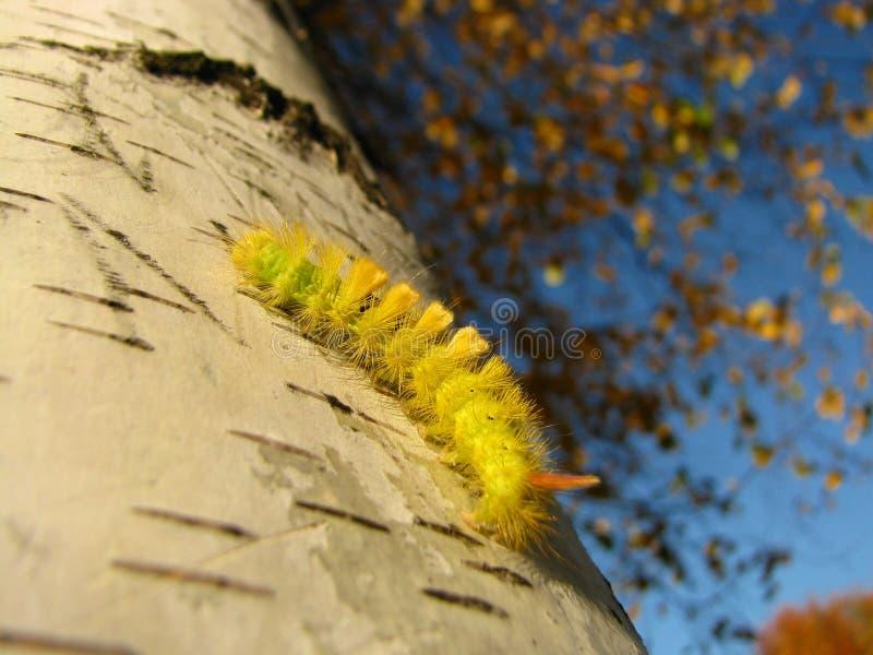 Caterpillar zdjęcie stock