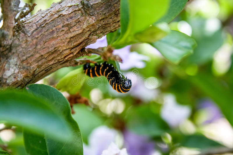 Caterpillar obrazy royalty free