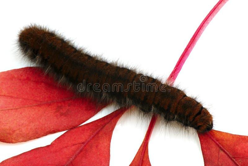 Download Caterpillar stock image. Image of lepidoptera, herbivore - 6910115