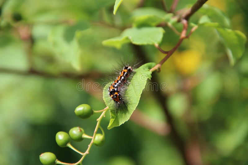 Caterpillar royaltyfria bilder