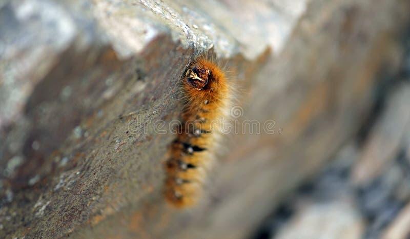 Download Caterpillar Alaranjado Peludo Foto de Stock - Imagem de distrito, alaranjado: 29829170