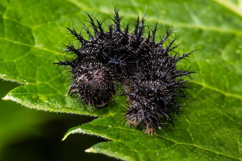 Caterpillar appuntito nero sulla foglia verde fotografie stock libere da diritti