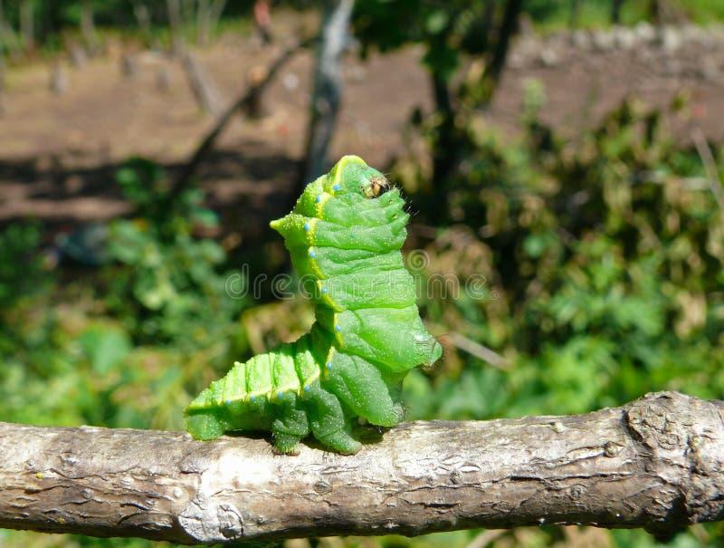 Download Caterpillar of Artemis 4 stock image. Image of closeup - 7028319
