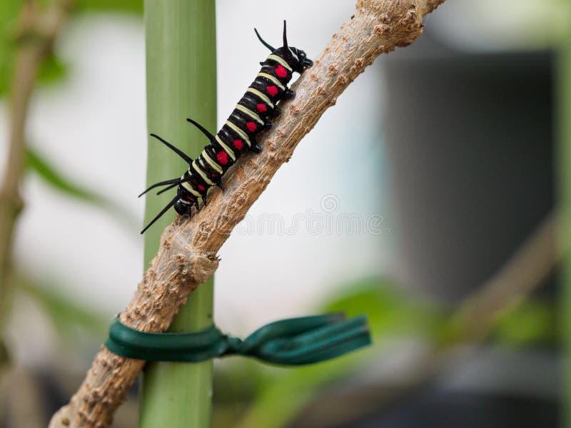 Caterpillar auf Blatt auf Ishigaki-Insel stockbild
