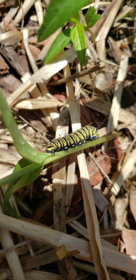 Caterpillar av en monarkfjäril arkivbilder