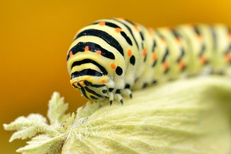Caterpillar av swallowtail royaltyfri bild