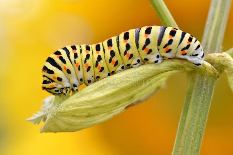Caterpillar av swallowtail royaltyfri fotografi