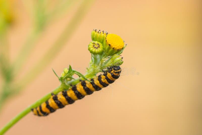 Caterpillar av Tyria jacobaeae fotografering för bildbyråer