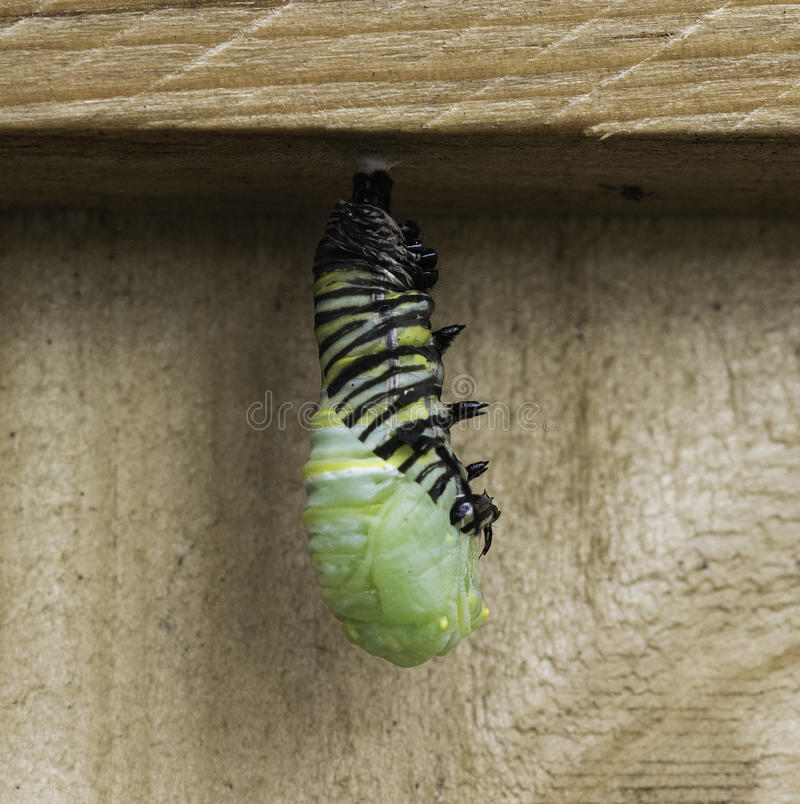 Caterpillar Becoming Chrysalis royalty free stock images