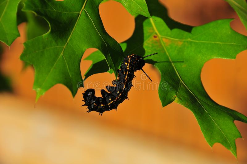 Caterpillar - Black with Yellow Stripes - Anisota Peigleri. Black caterpillar with bright yellow stripes. Anisota peigleri yellowstriped oakworm is a moth of the royalty free stock photos