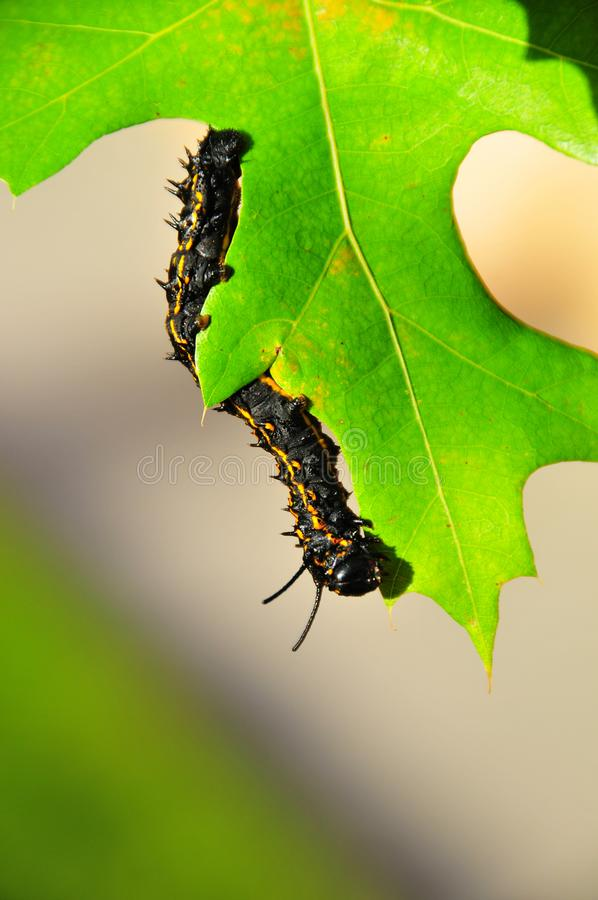 Caterpillar - Black with Yellow Stripes - Anisota Peigleri. Black caterpillar with bright yellow stripes. Anisota peigleri yellowstriped oakworm is a moth of the royalty free stock image