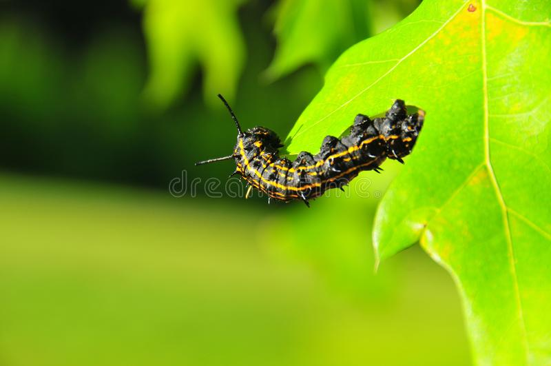 Caterpillar - Black with Yellow Stripes - Anisota Peigleri. Black caterpillar with bright yellow stripes. Anisota peigleri yellowstriped oakworm is a moth of the royalty free stock photo