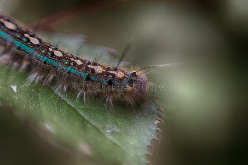 Caterpillar blu su una foglia immagine stock libera da diritti