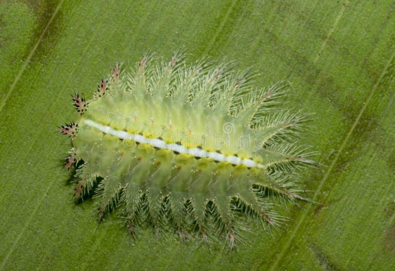 Caterpillar bonito visto em Badlapur imagem de stock