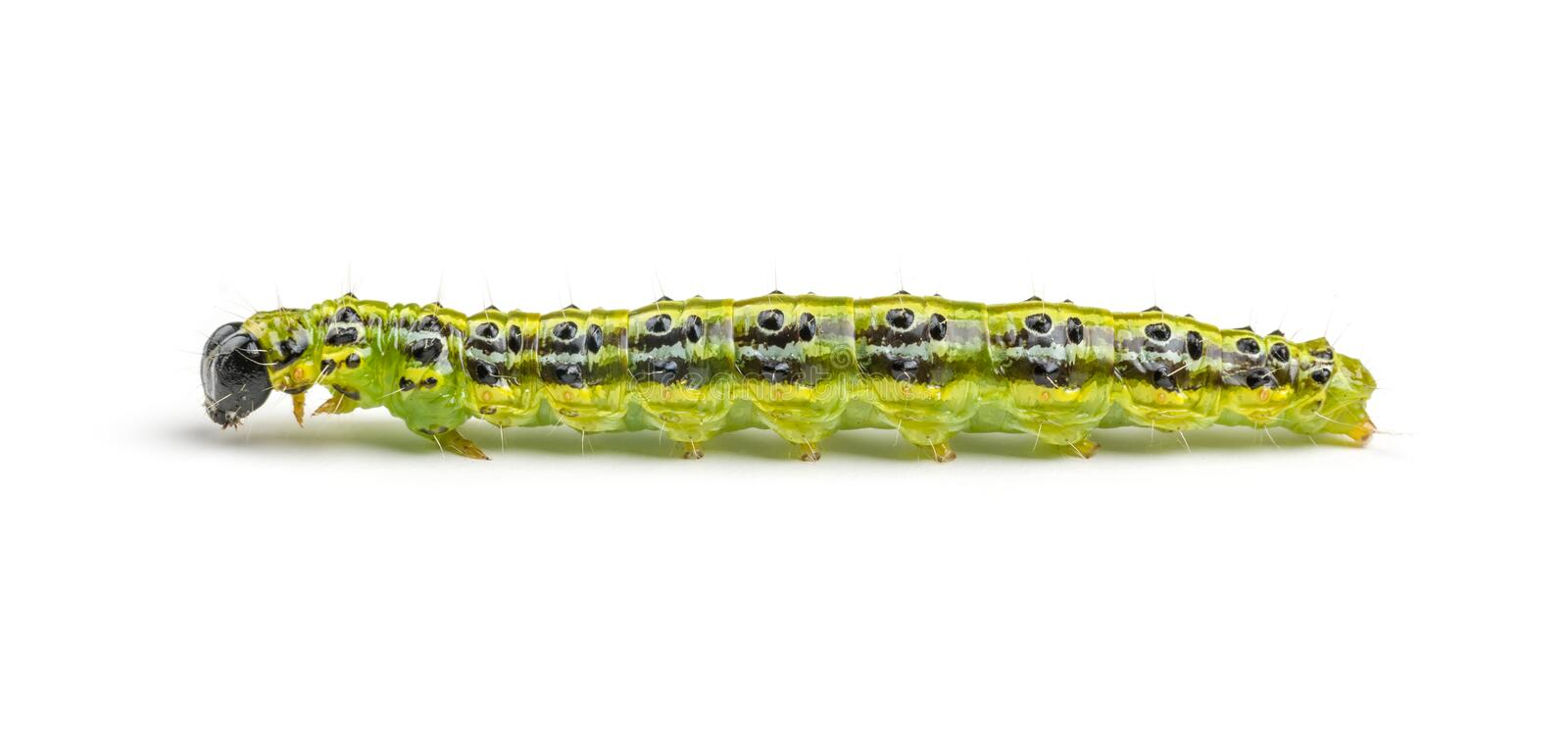 Caterpillar of the box tree moth. (Cydalima perspectalis stock image