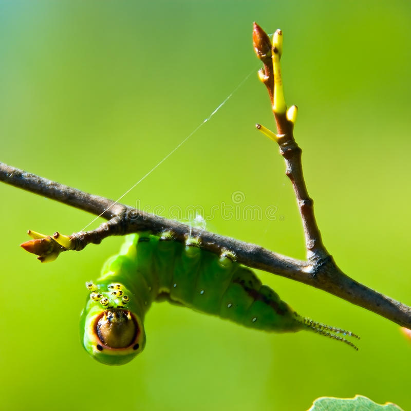 Caterpillar on a branch stock photo