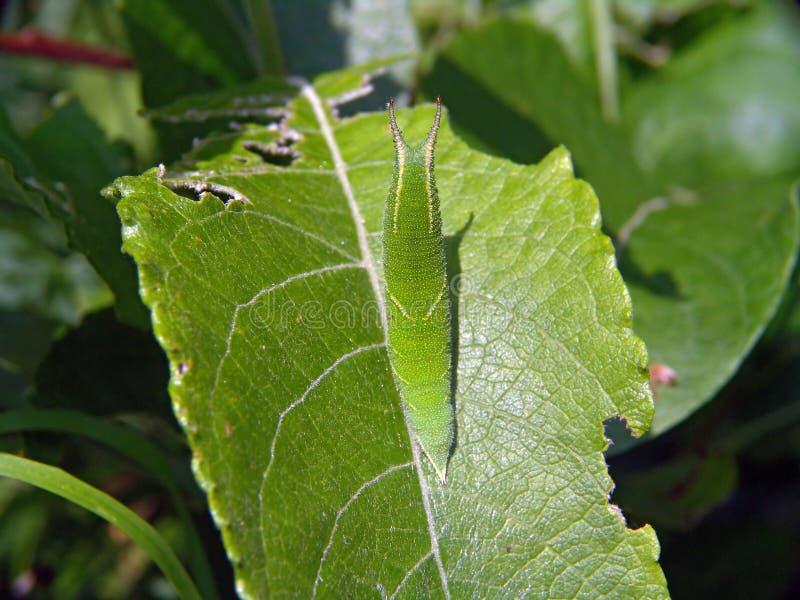 Caterpillar of butterfly Apatura ilia. stock photo