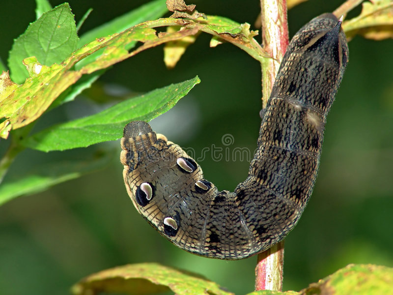 Download Caterpillar Of Butterfly Deilephila Elpenor On Chamaenerion Angustifolium. Stock Photo - Image: 607174