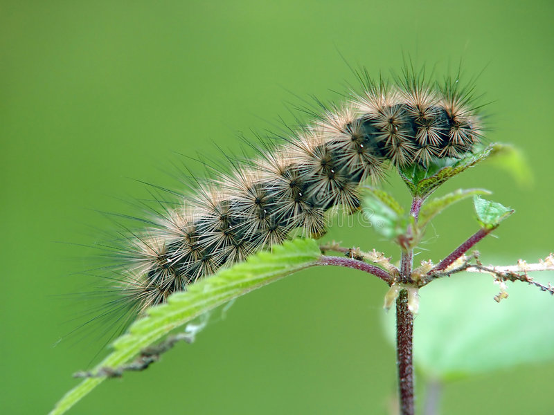 Caterpillar of the butterfly of family Arctiidae. royalty free stock photos