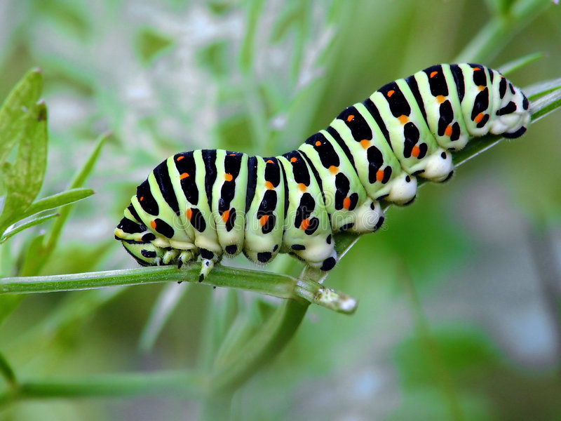 Caterpillar of butterfly Papilio machaon. royalty free stock photos