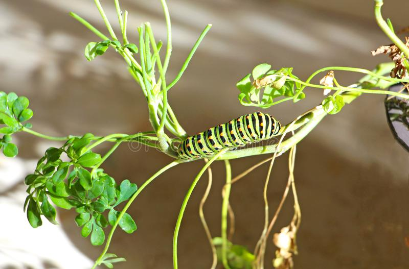 Caterpillar of butterfly Papilio machaon. On the stem of a plant stock photo