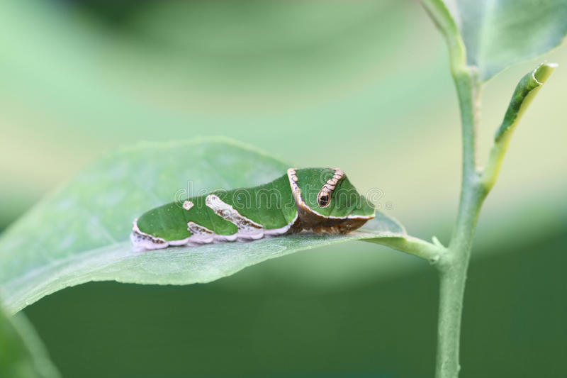 Caterpillar of butterfly Swallowtail stock images