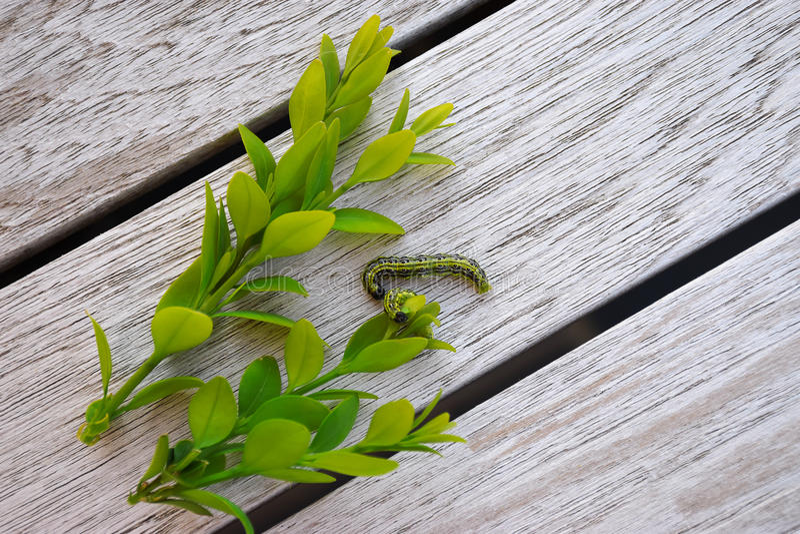 Caterpillar - Buxus lizenzfreies stockbild
