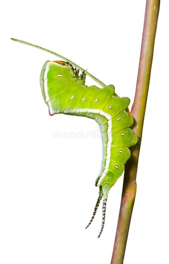 Free Caterpillar (Cerura Erminea) 8 Royalty Free Stock Photo - 21388155