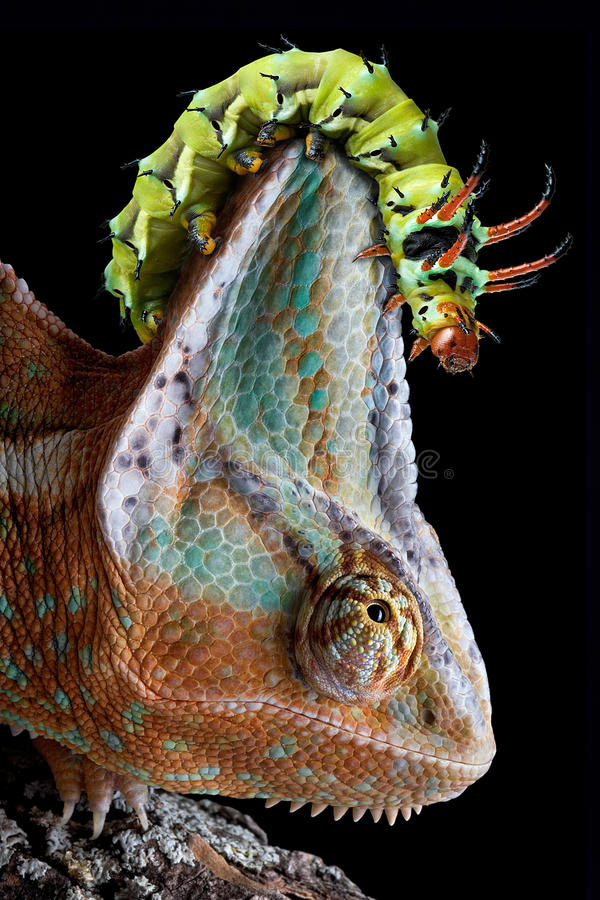 Caterpillar on chameleon's head. A Hickory Horned Devil caterpillar is crawling on a chameleon's head royalty free stock image