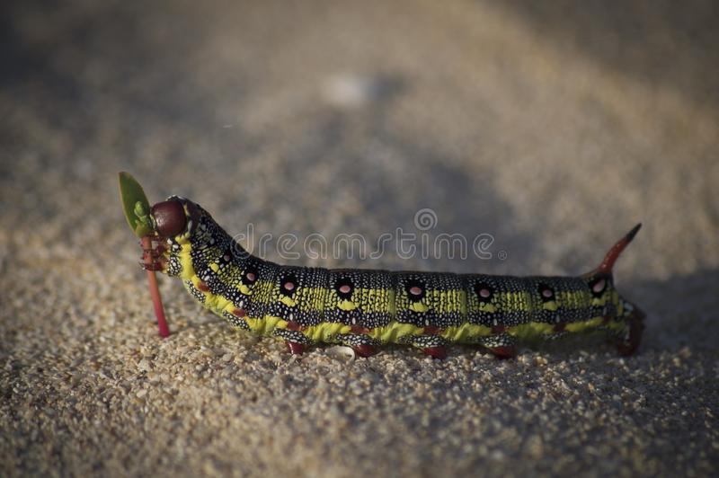 Caterpillar che ha un masticare immagine stock libera da diritti