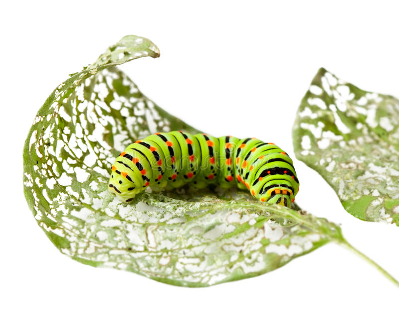 Caterpillar chewing a leaf. Macro of caterpillar on damaged leaf isolated on white royalty free stock photos