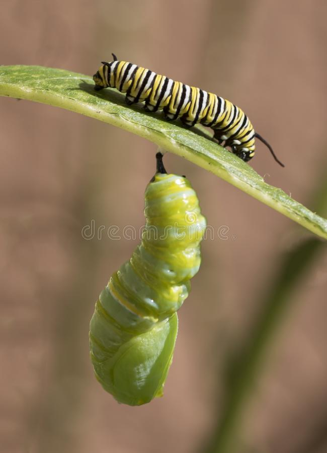 Caterpillar a Chrysalis fotografia stock libera da diritti
