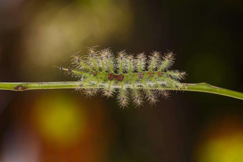 Caterpillar Commom Jarmarczny Baron motyli Euthalia luben fotografia stock