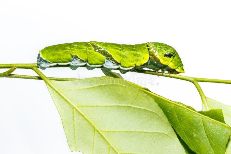 Caterpillar of Common mormon butterfly on leaf. Og host plant stock images