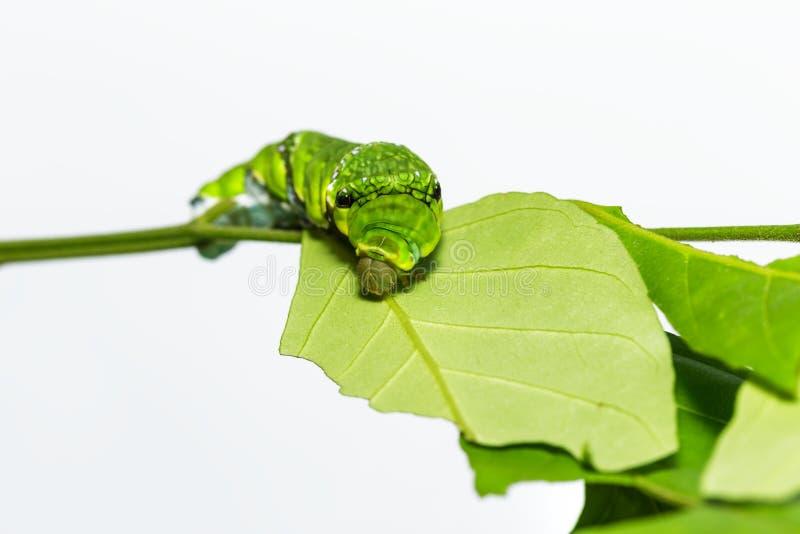Caterpillar of Common mormon butterfly on leaf. Og host plant stock photo