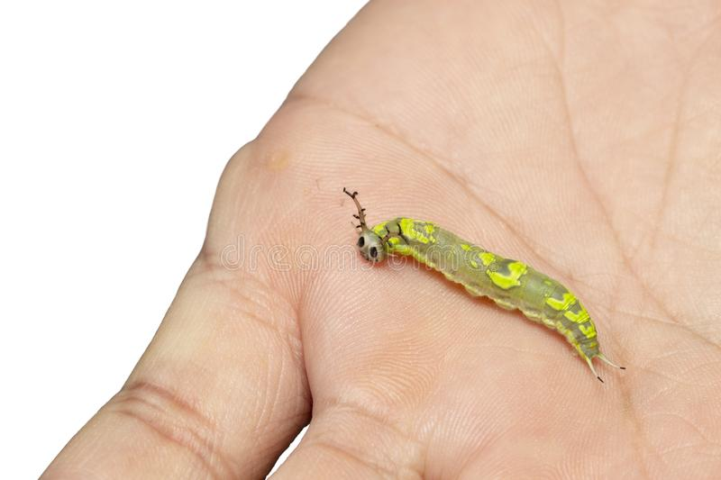 Caterpillar of common pasha butterly  Herona marathus  resting on hand stock photos