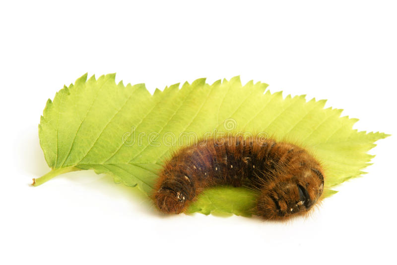 Caterpillar con la hoja verde fotografía de archivo