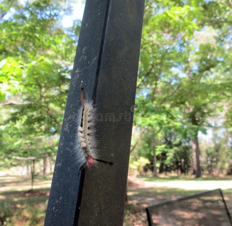 Caterpillar con los huevos de la avispa fotos de archivo