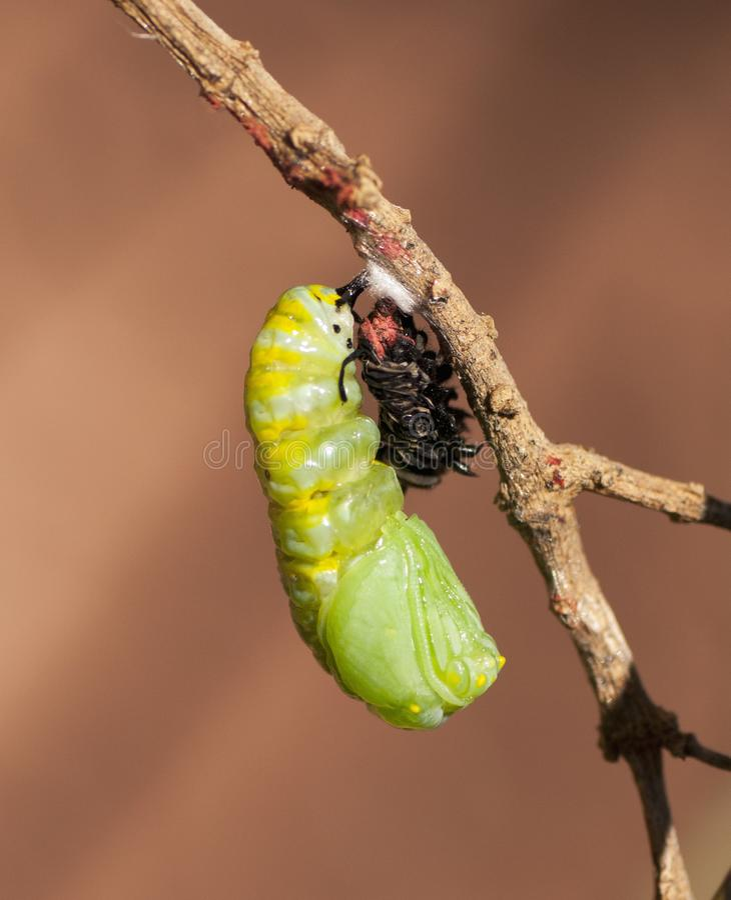 Caterpillar in corso di Chrysalis diventante immagine stock
