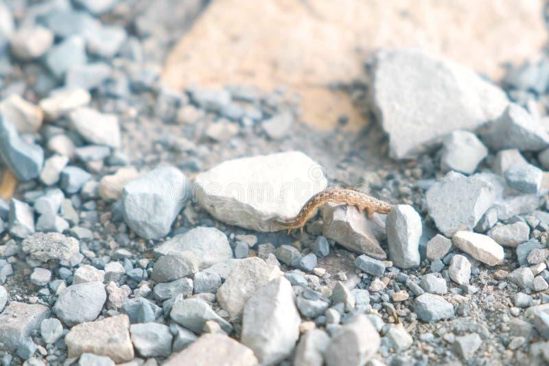 Caterpillar crawling on the grey pebble rocks. stock image
