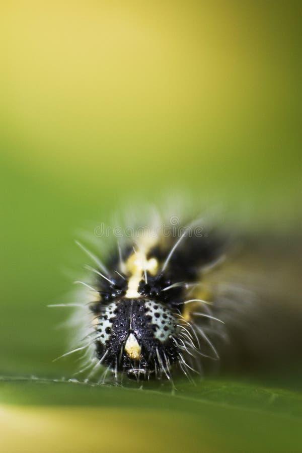 Caterpillar creeping on a leaf, macro royalty free stock photos